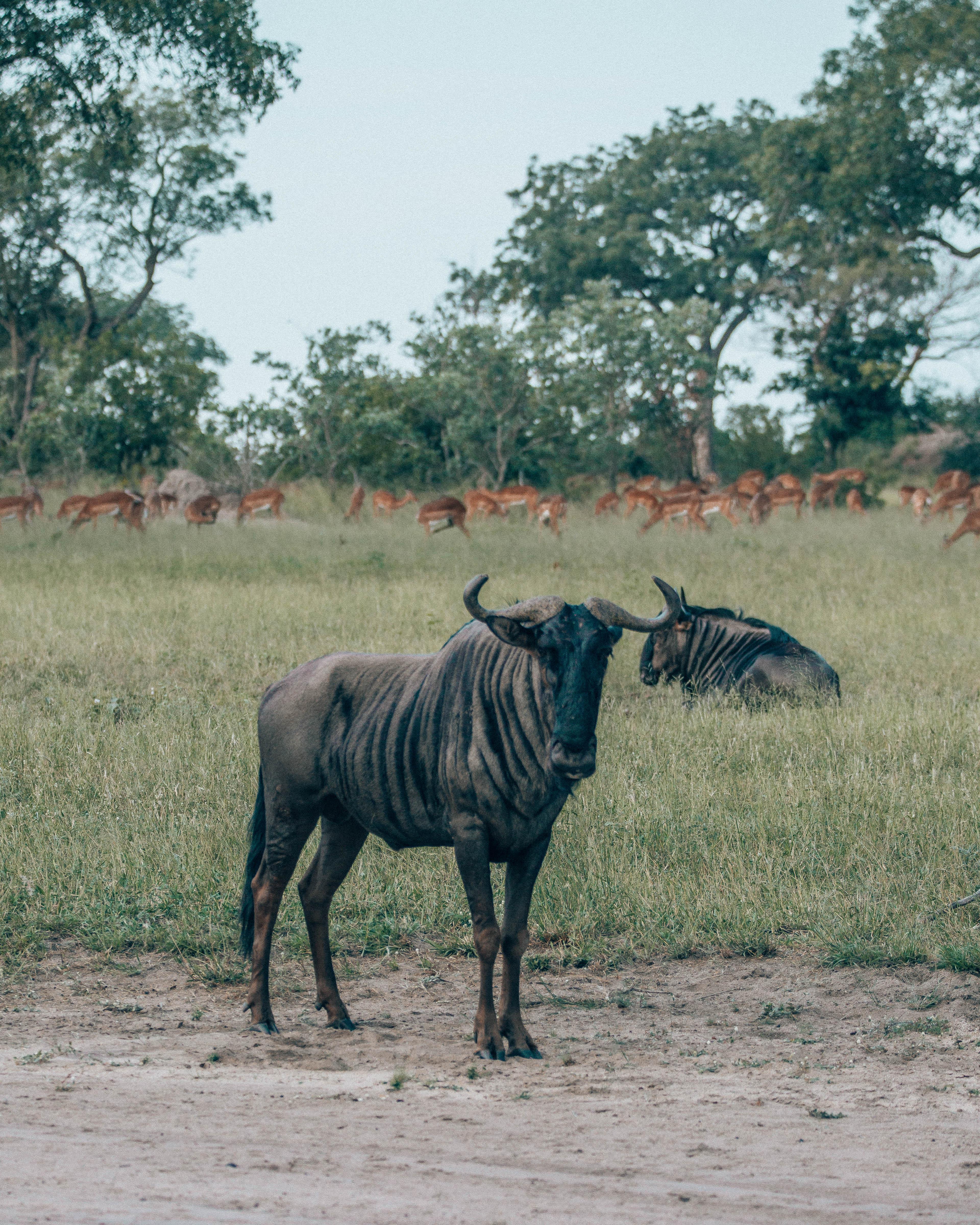 Solo wildebeest.