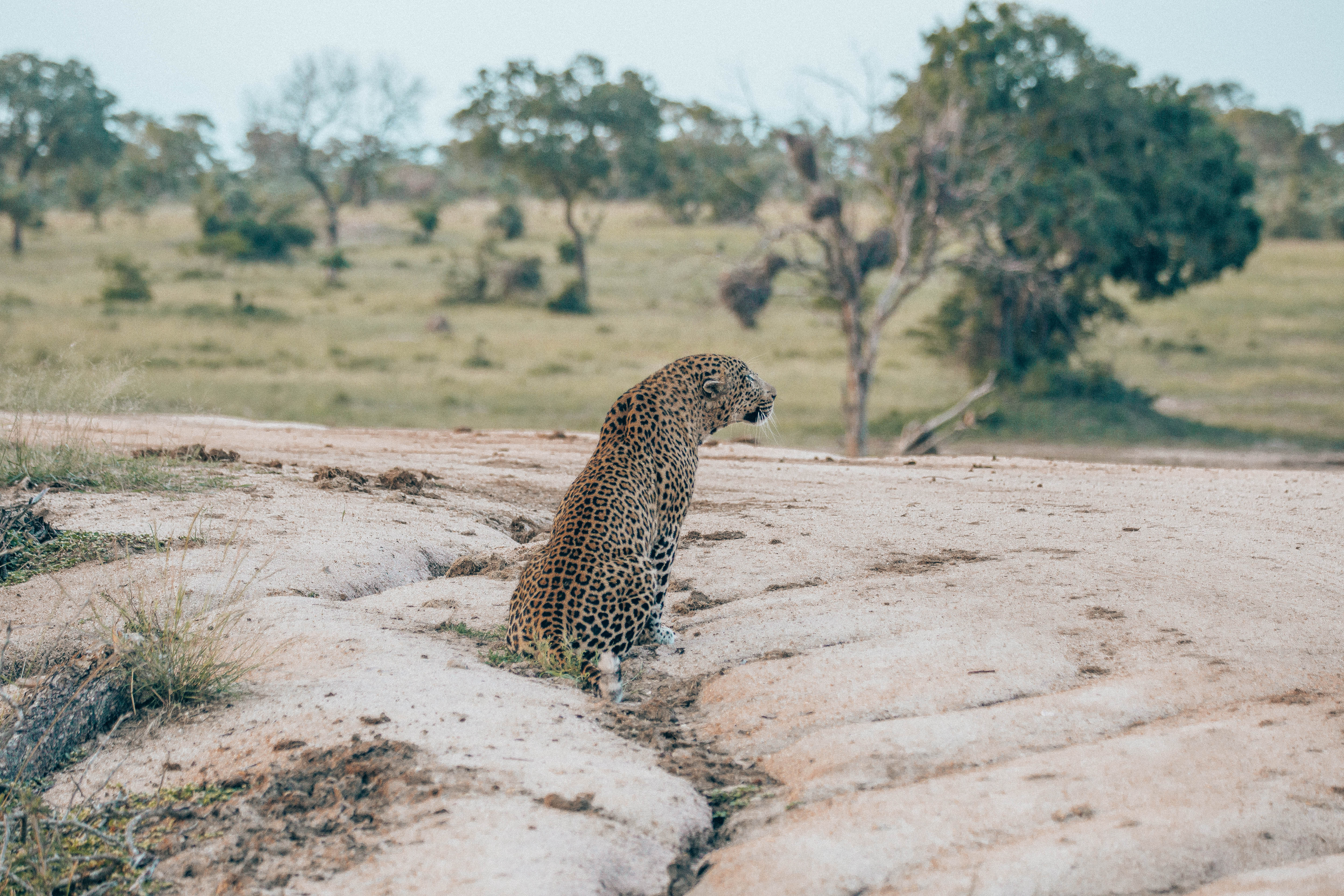The leopard waits as the sun sets behind him.