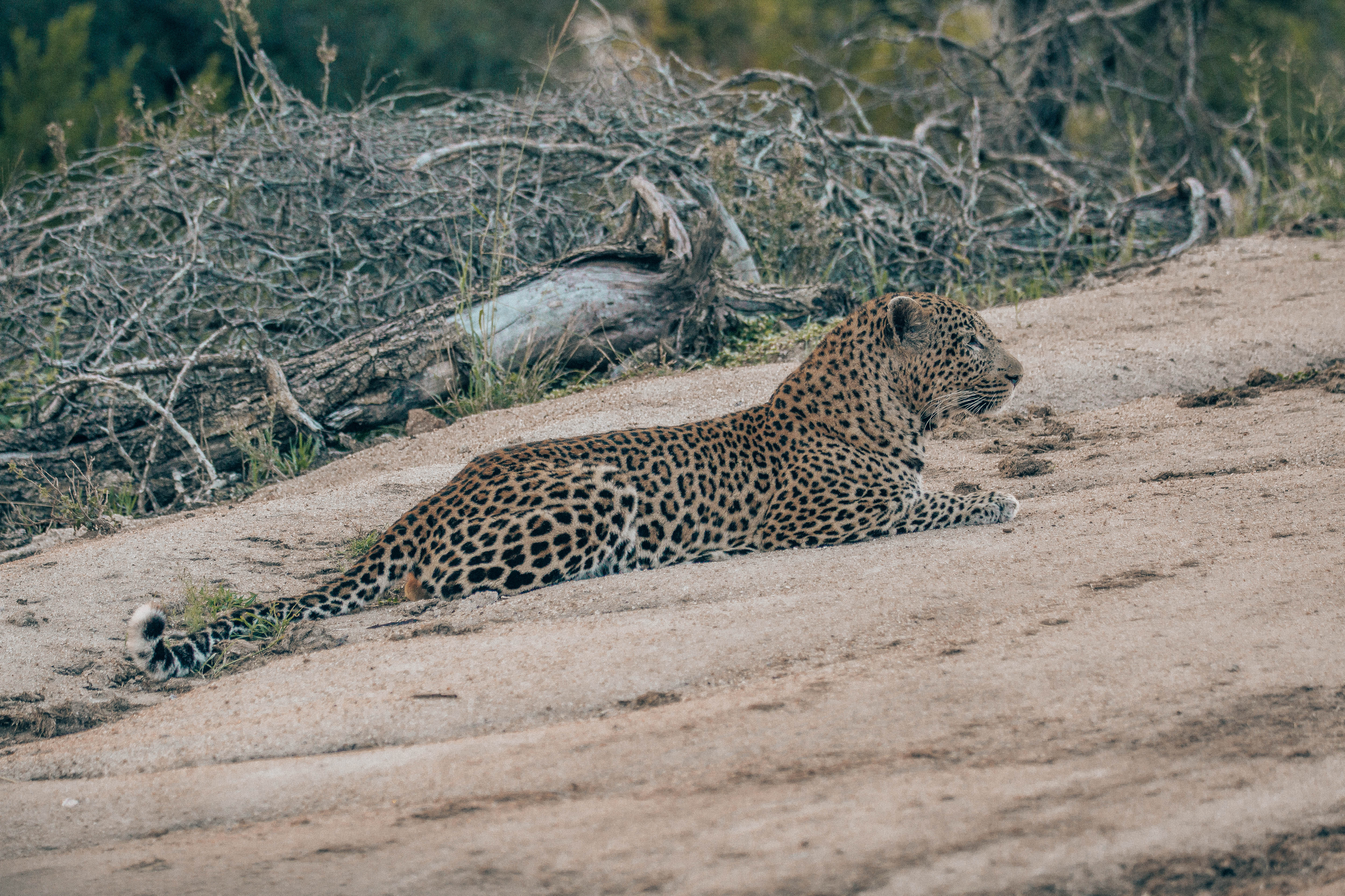 The male leopard looking over the impala by the lodge.