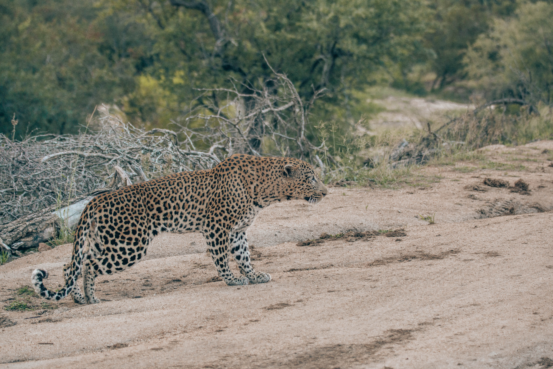 The leopard is creeping slowly towards the impala.