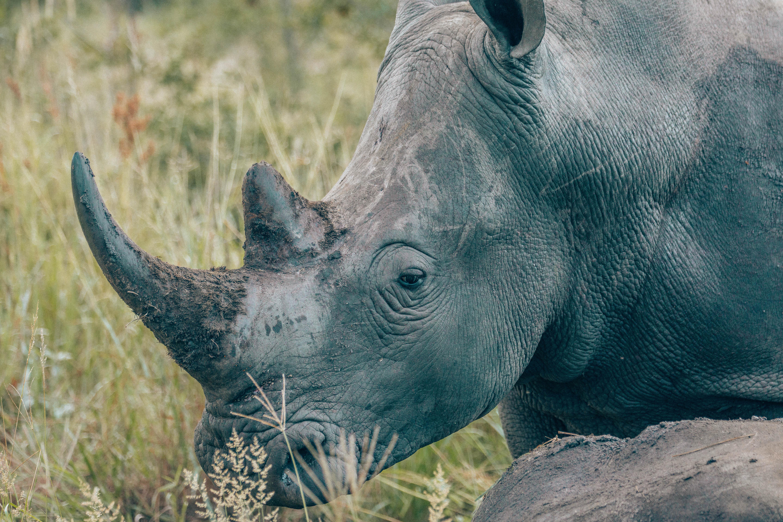 Rhino close up.