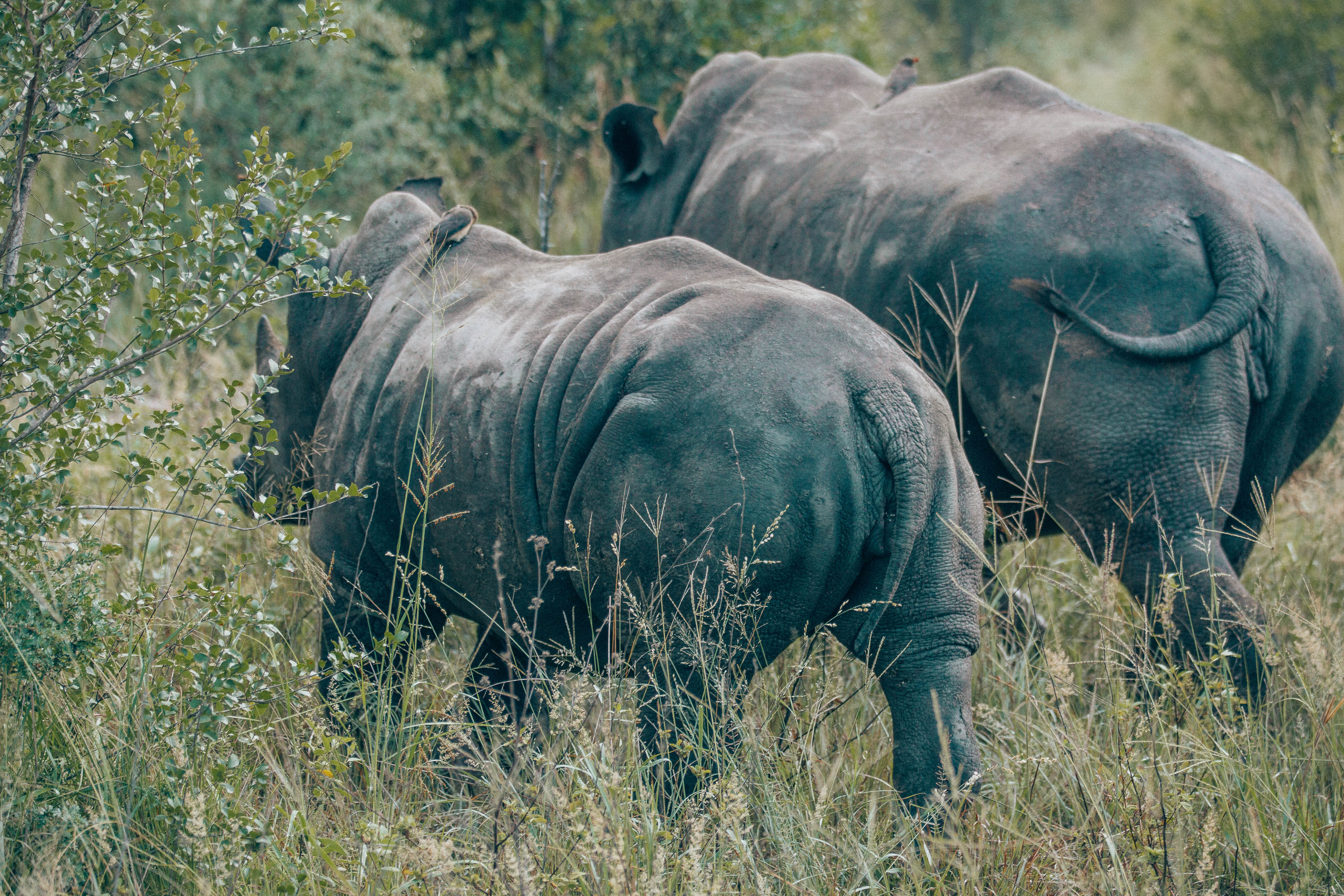 Rhinos from behind.