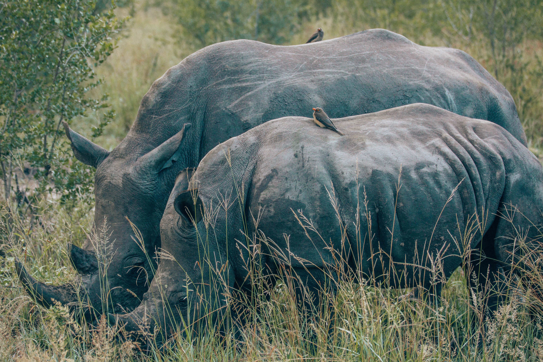 Rhino mama with baby rhino.