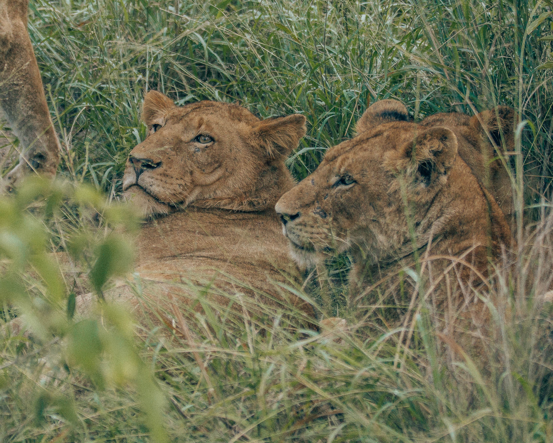 Lions lounging around.