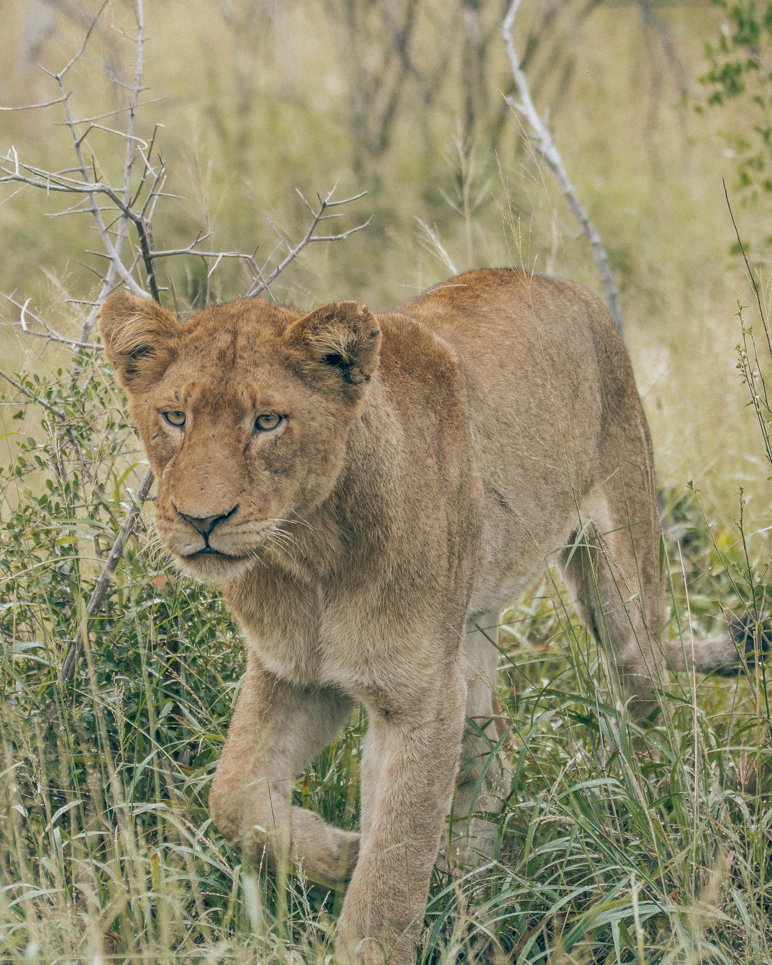 Lion model walk.