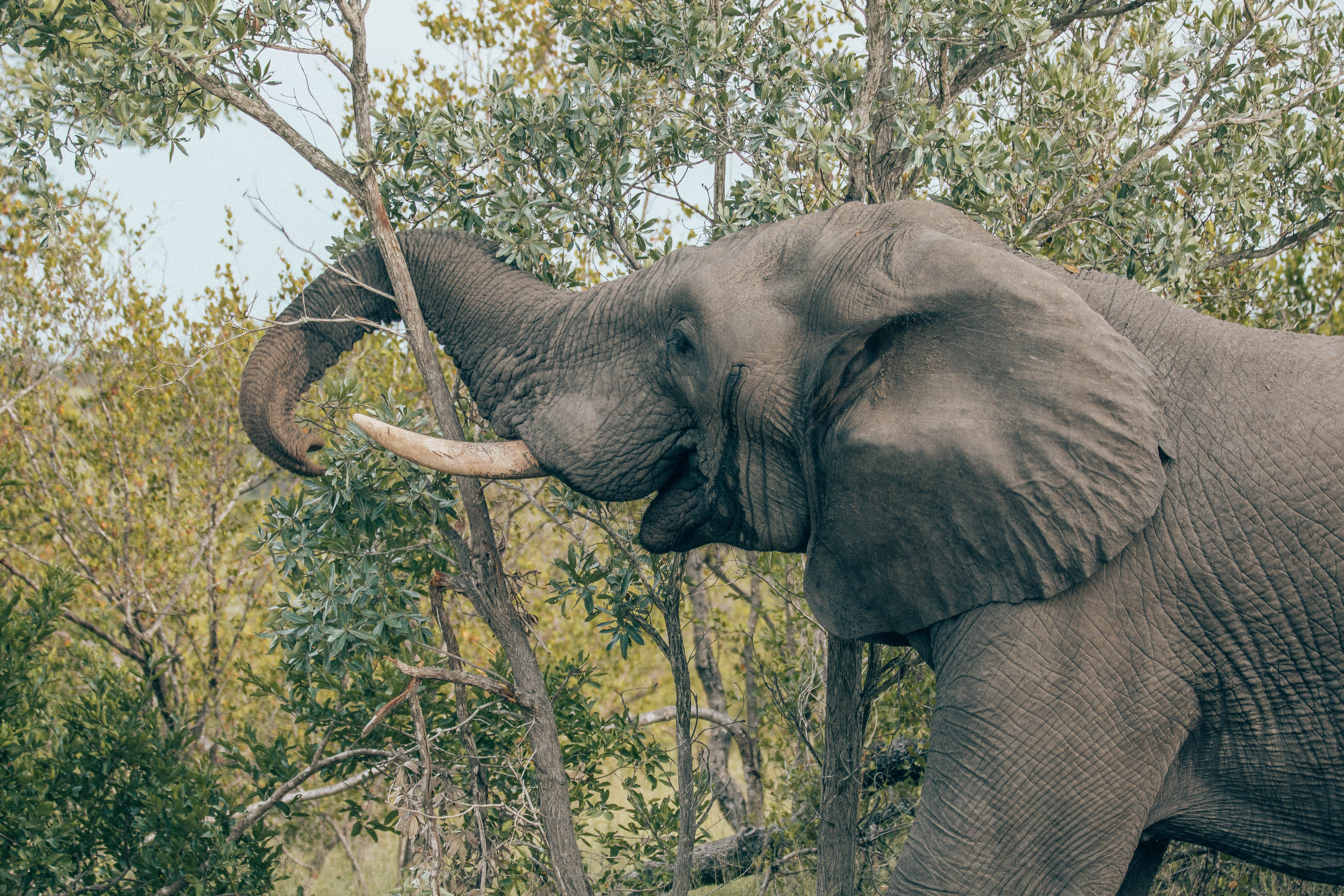 Elephant grabbing tree with trunk.