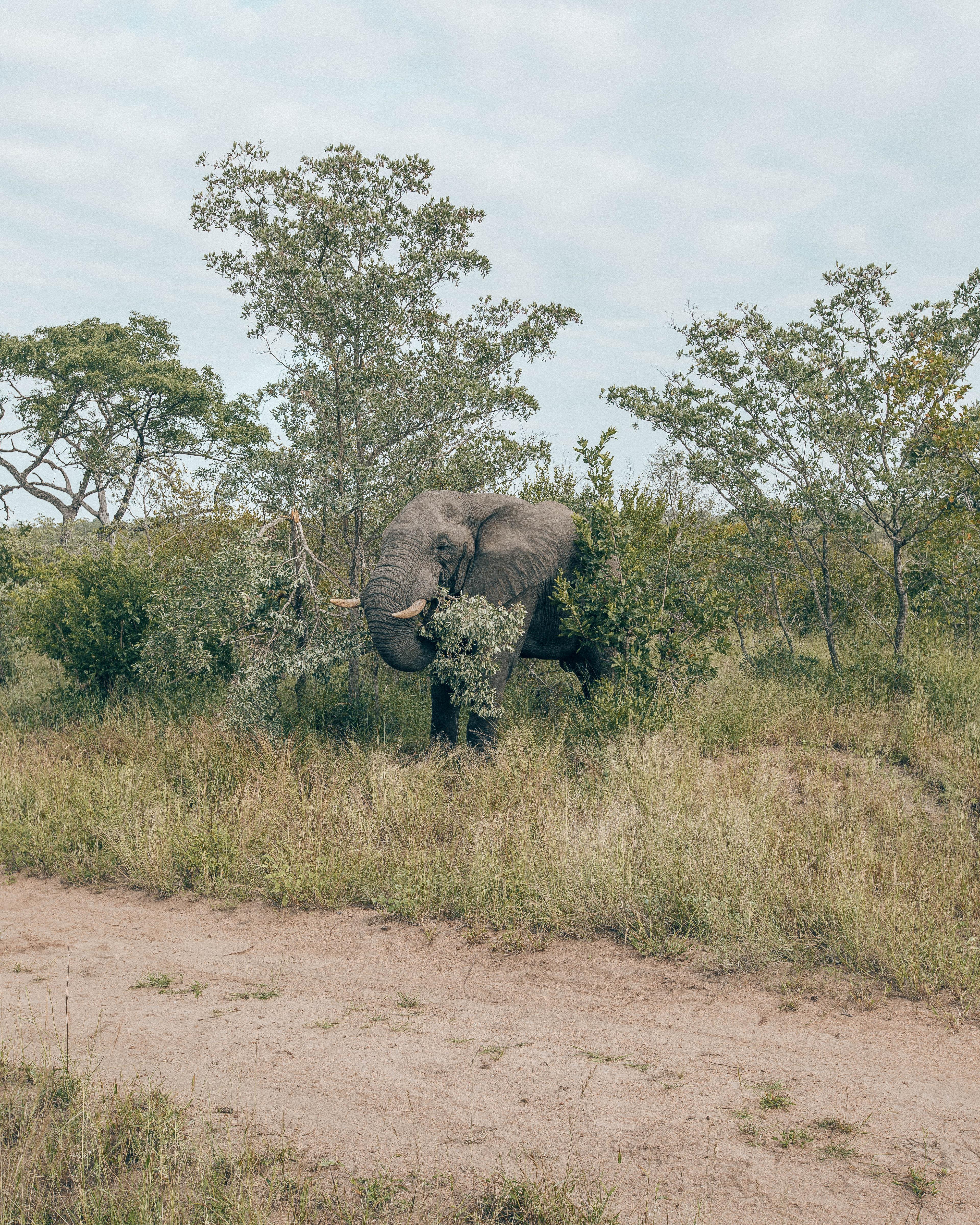 Elephant eating tree trunk.