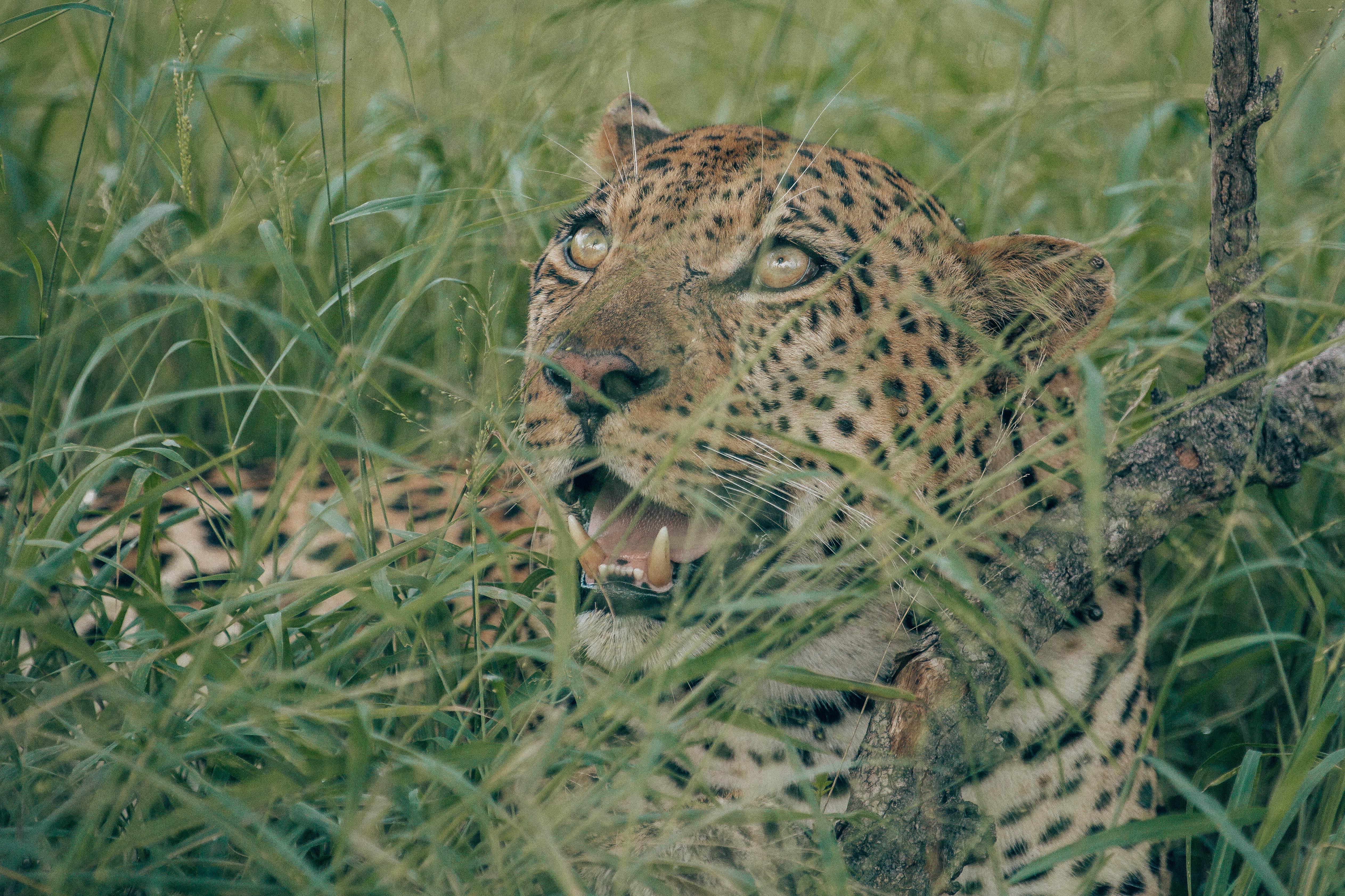 Leopard portrait.