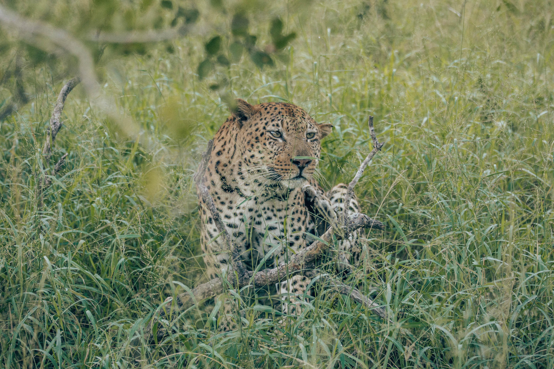 Leopard in the brush.