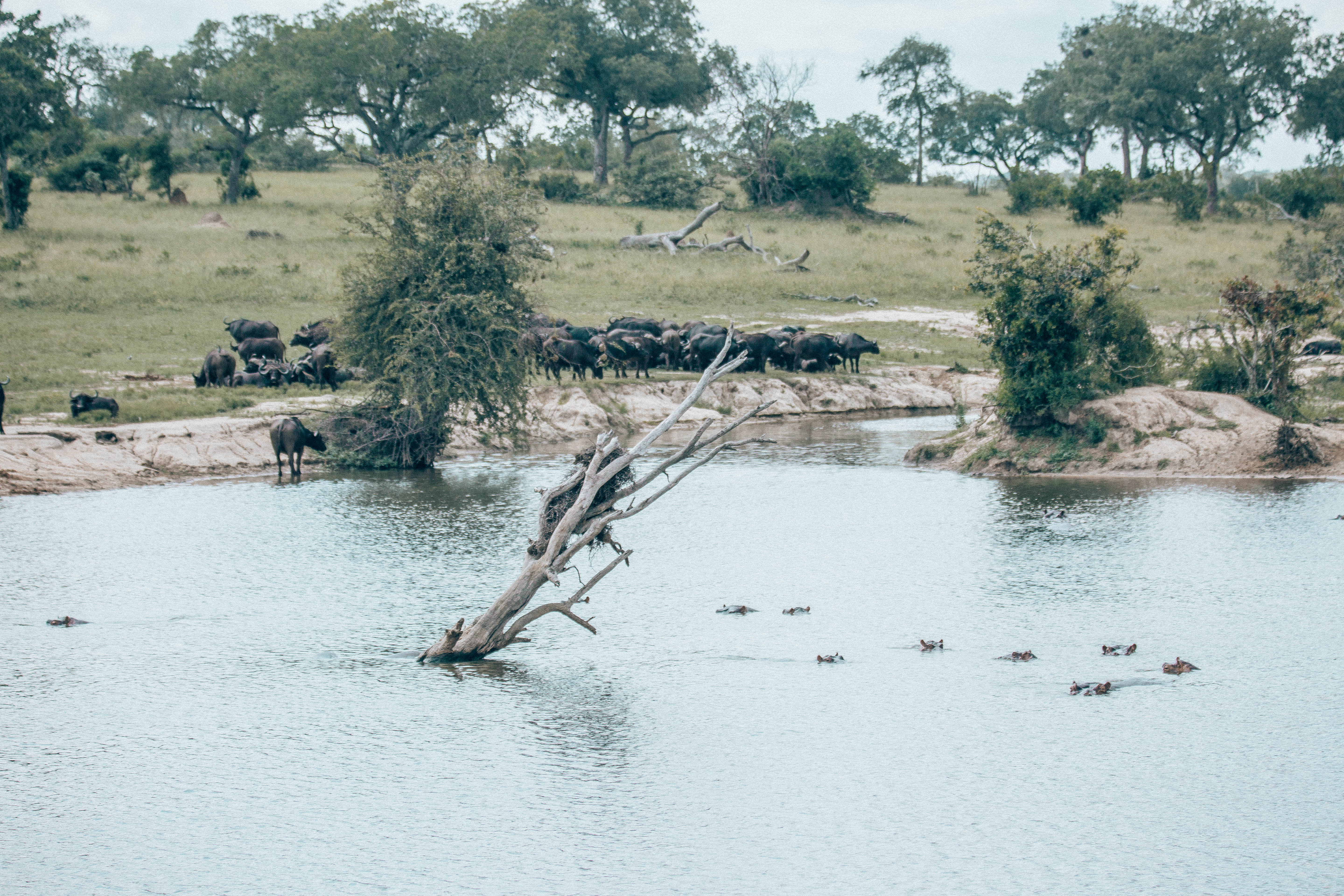 Wildebeest at the watering hole with hippos all around.