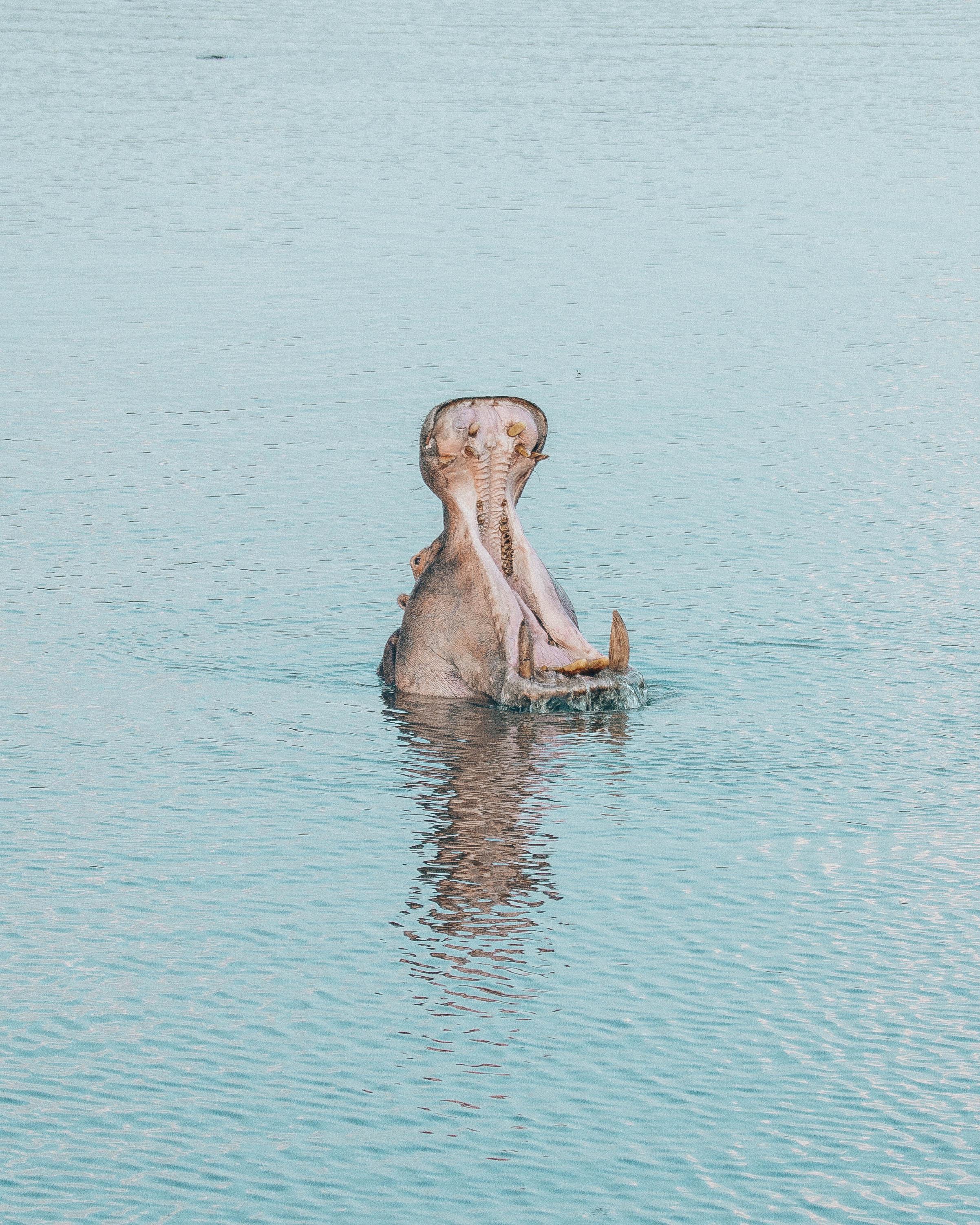 Hippo yawns!