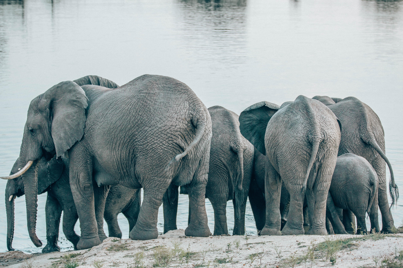 Elephant butts.