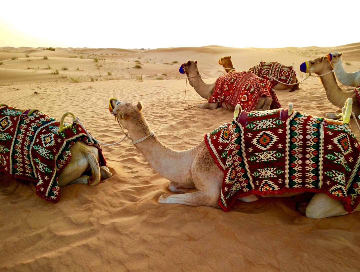 Camels laying down in the desert in Dubai