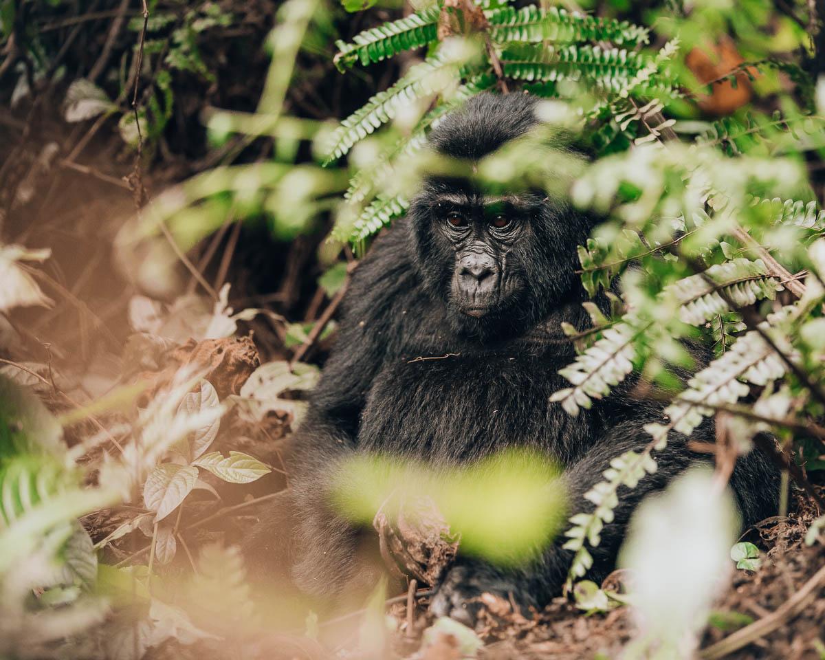 baby gorilla sitting down bwindi impenetrable forest uganda itinerary
