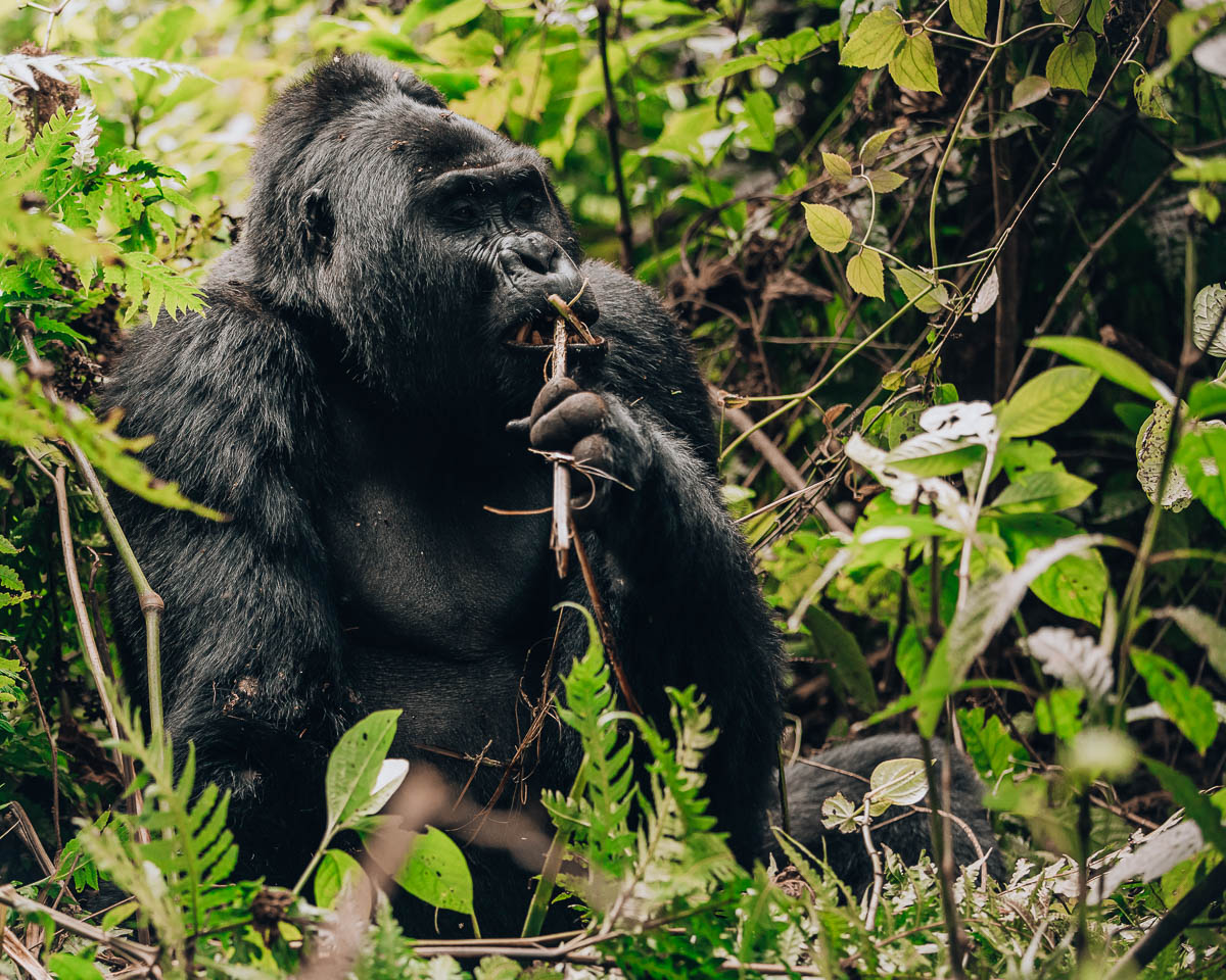 silverback gorilla eats stick bwindi impenetrable forest uganda