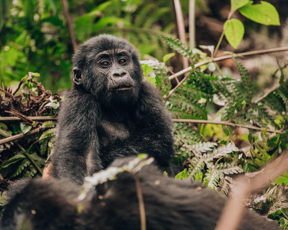 adorable baby gorilla bwindi impenetrable forest uganda itinerary