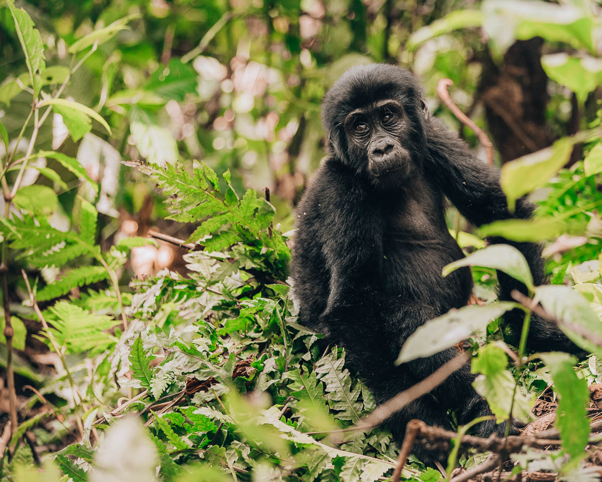 baby gorilla looking into the distance bwindi impenetrable forest uganda