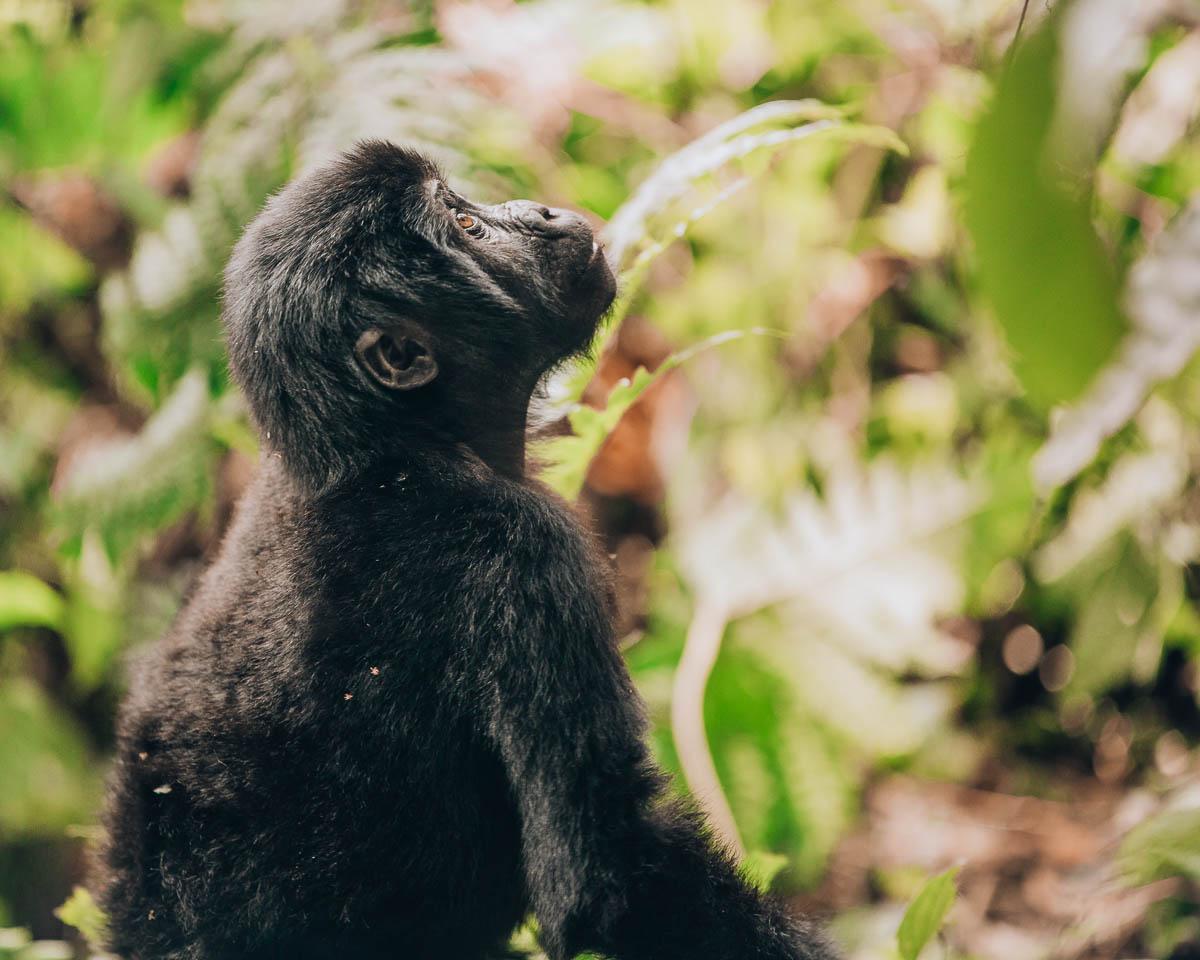 portrait of baby gorilla bwindi impenetrable forest uganda itinerary