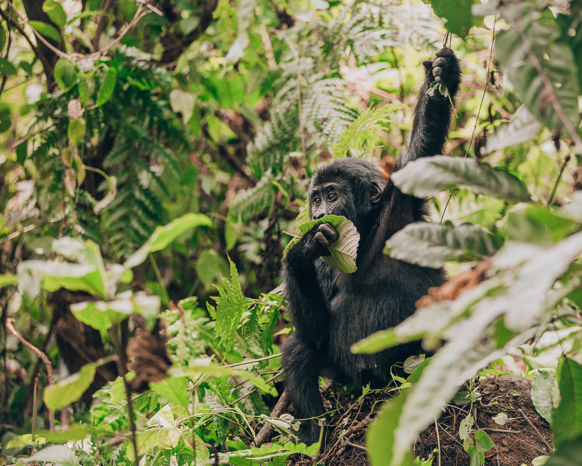 baby gorilla eating leaf and holding branch bwindi impenetrable forest uganda itinerary