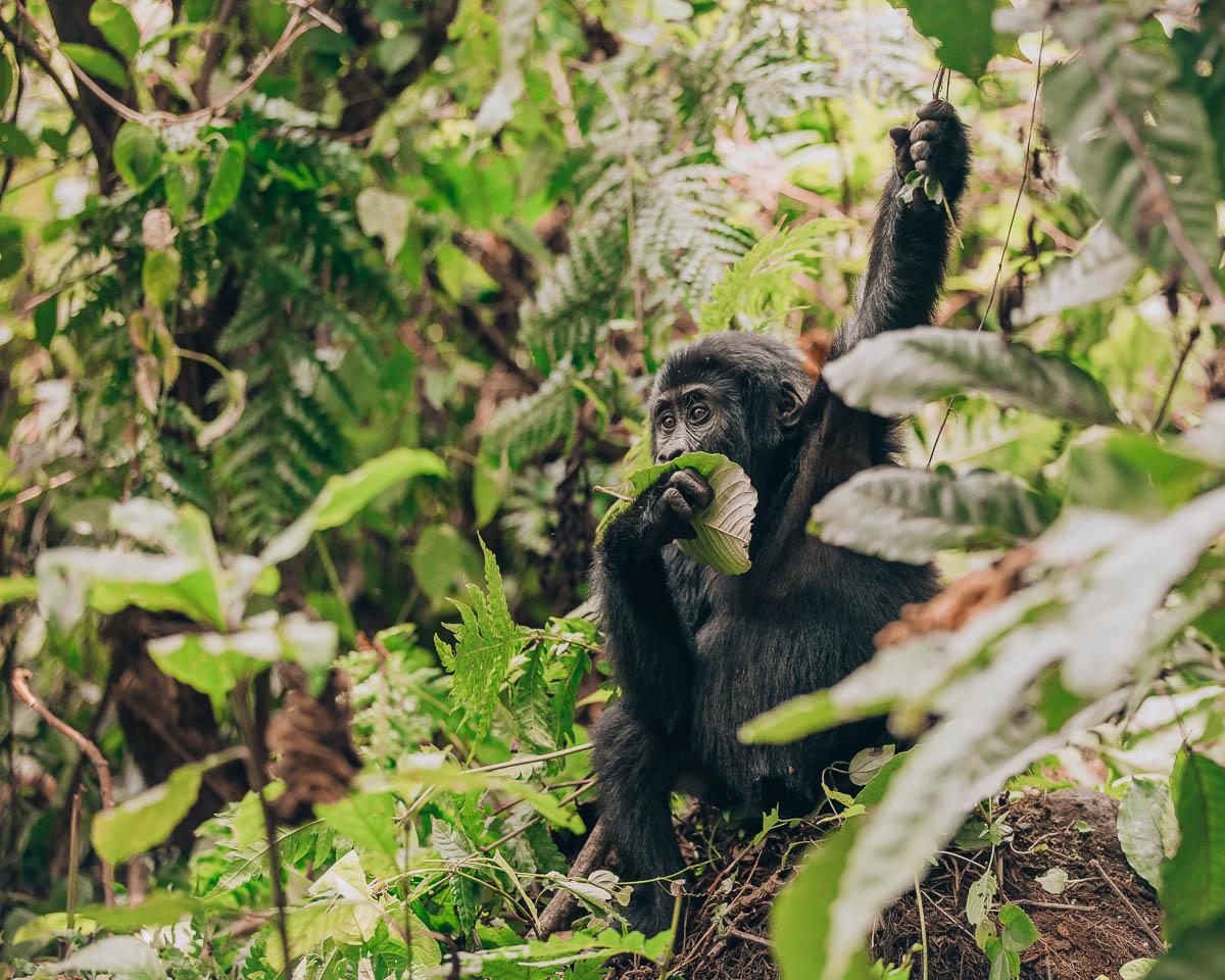 baby gorilla eating leaf and holding branch bwindi impenetrable forest uganda itinerary
