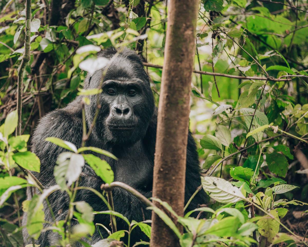 silverback gorilla portrait bwindi impenetrable forest uganda itinerary