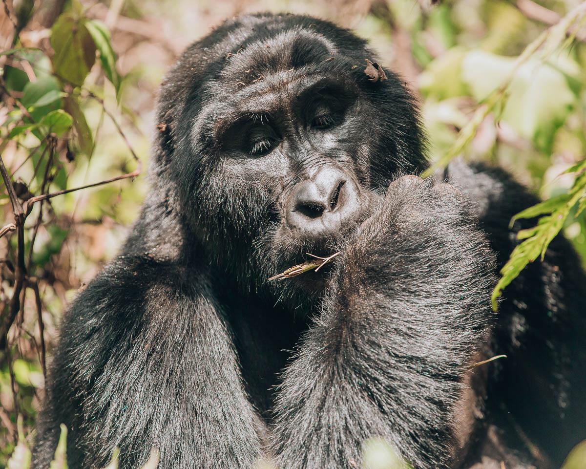 close up of silverback gorilla bwindi impenetrable forest uganda