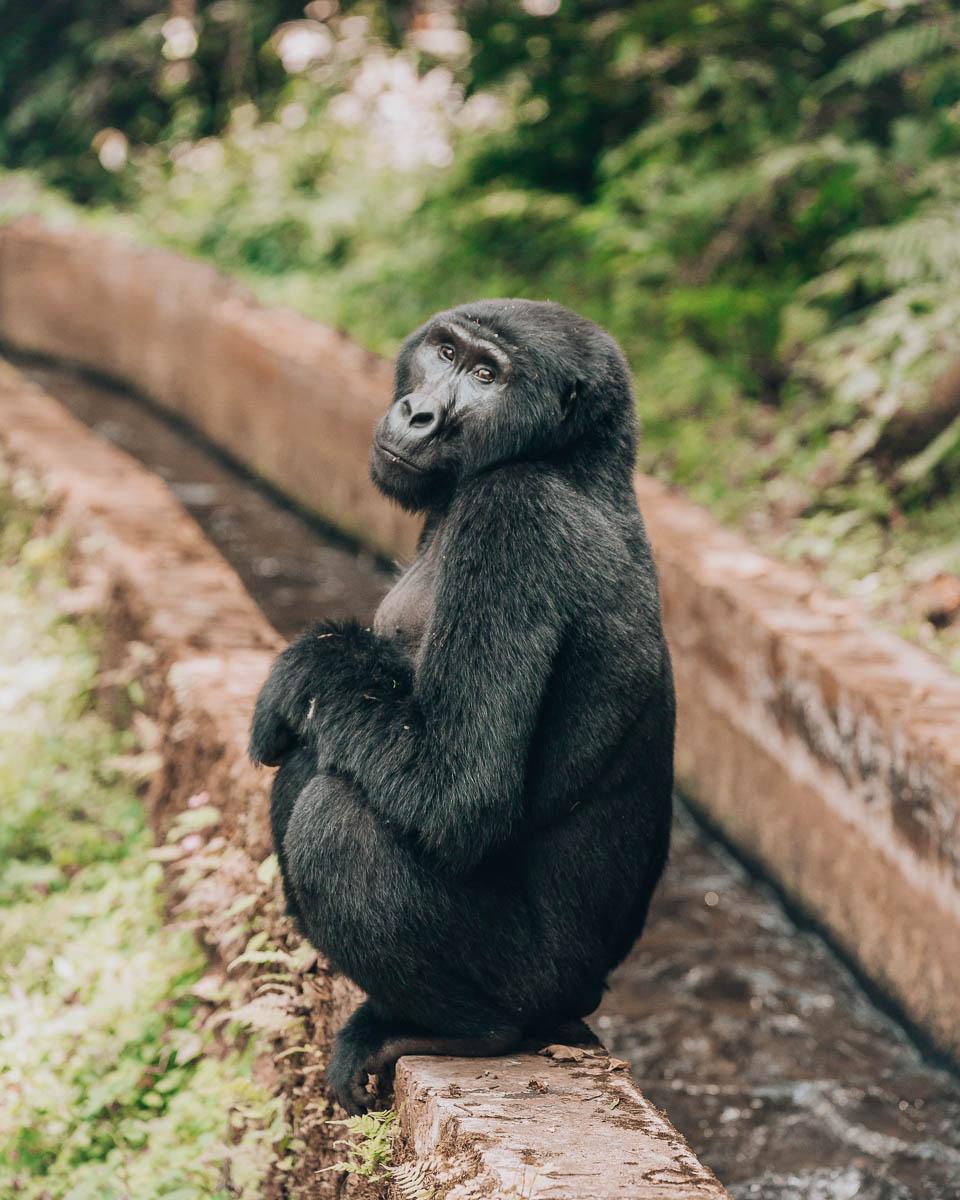 full body portrait black back gorilla bwindi impenetrable forest uganda itinerary