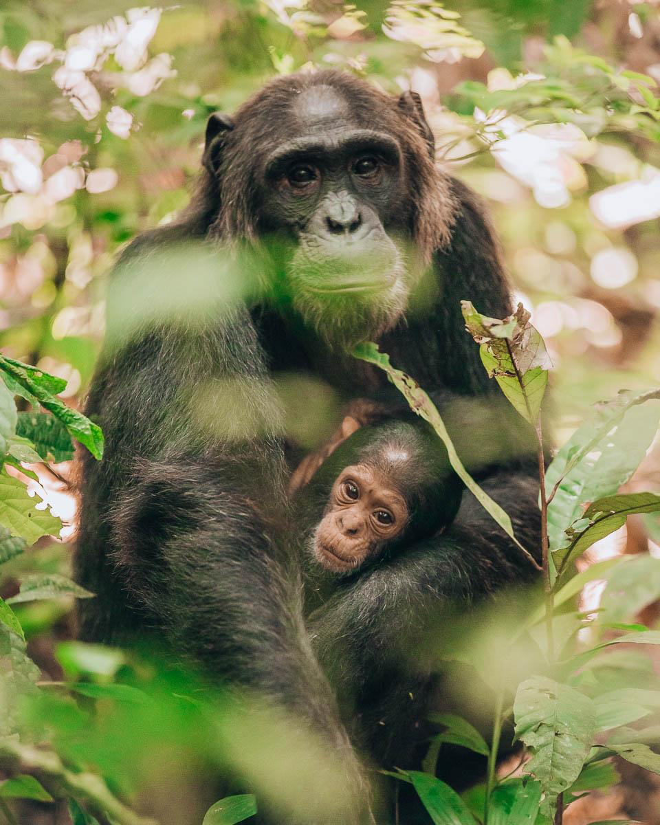 mother and baby chimpanzee kibale national park uganda itinerary