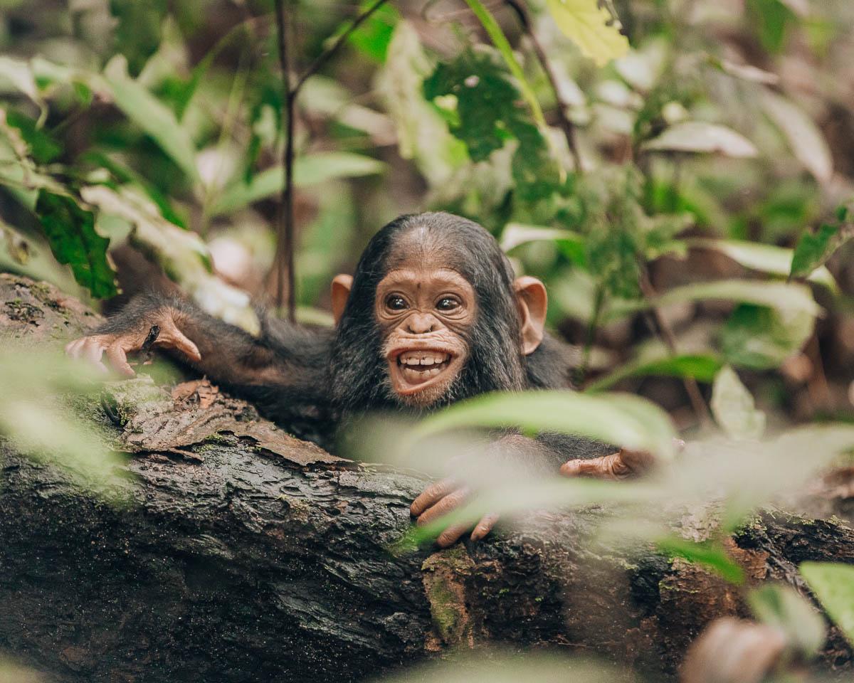 smiling baby chimpanzee kibale national park uganda itinerary