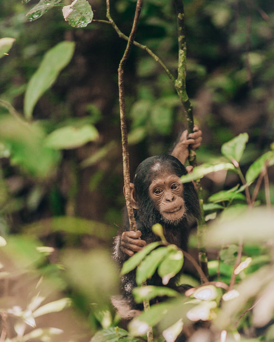 baby chimpanzee climbs from tree to tree kibale national park uganda itinerary