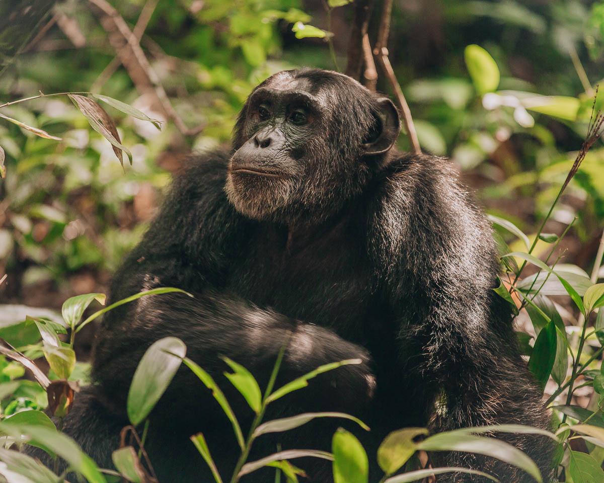 adult chimpanzee kibale national park uganda
