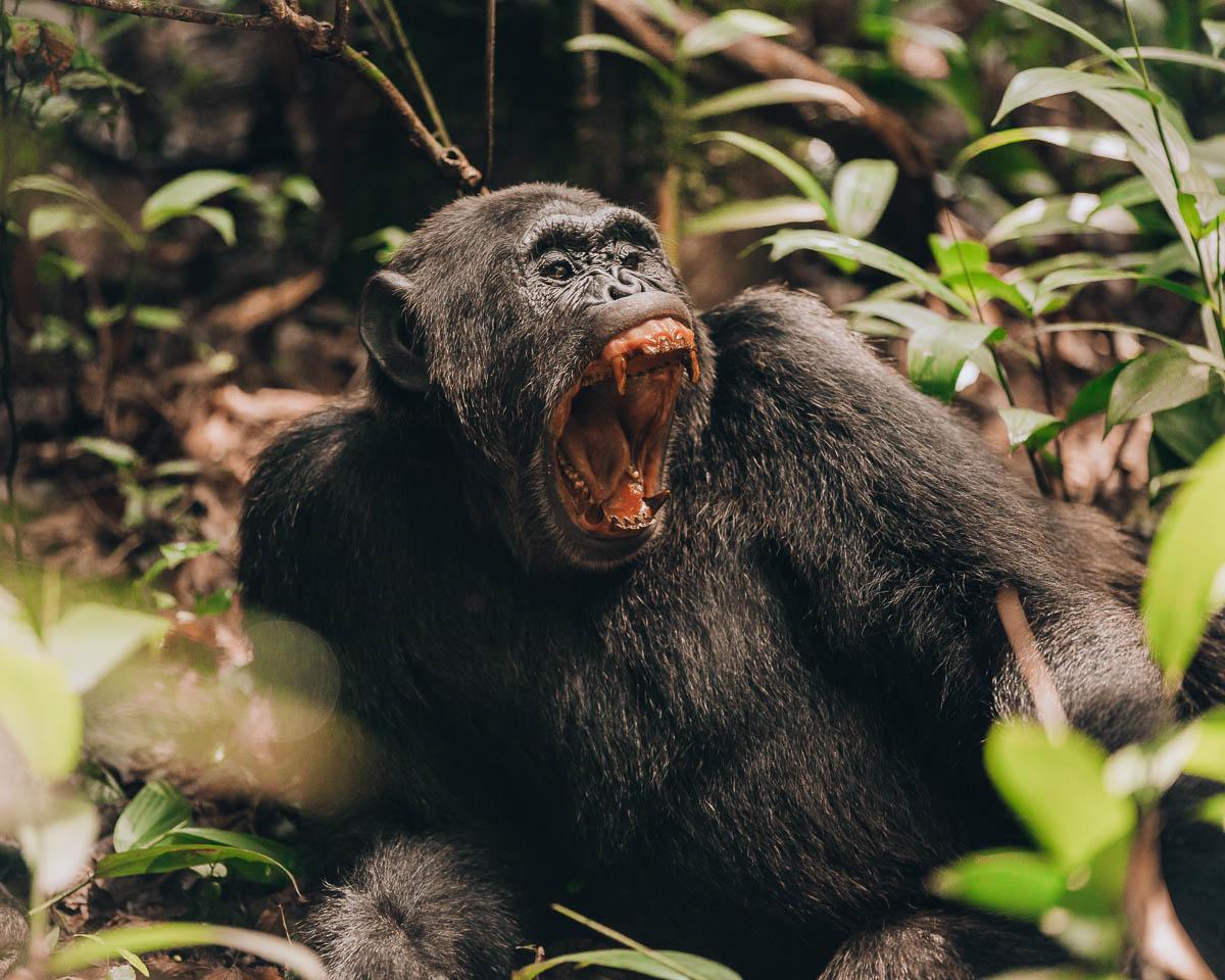 yawning adult chimpanzee with big teeth kibale national park uganda itinerary