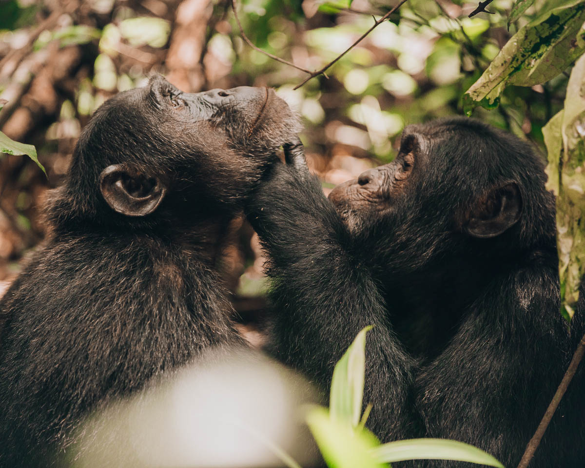 two chimpanzees check each other out kibale national park uganda itinerary