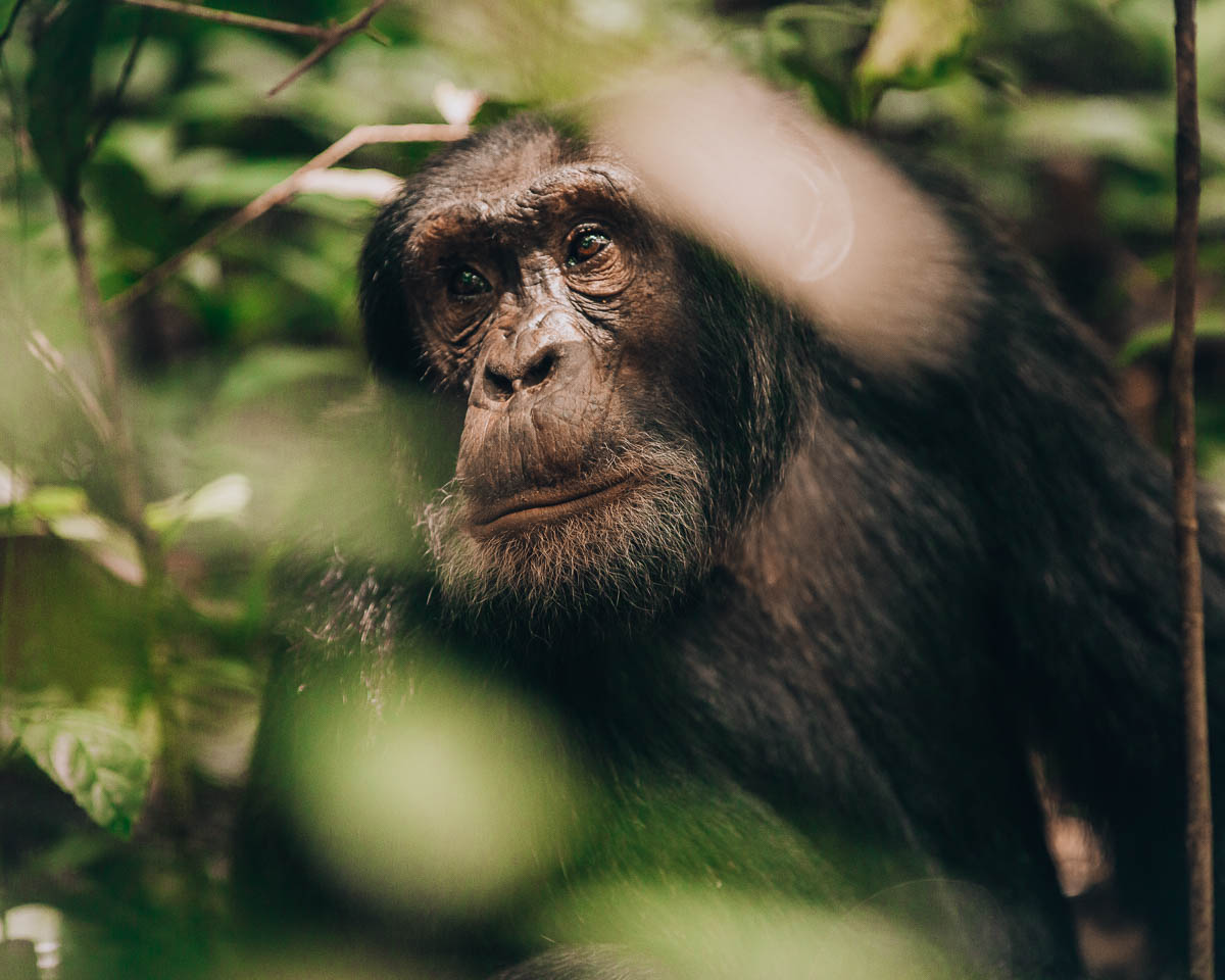 portrait of adult chimpanzee kibale national park uganda itinerary