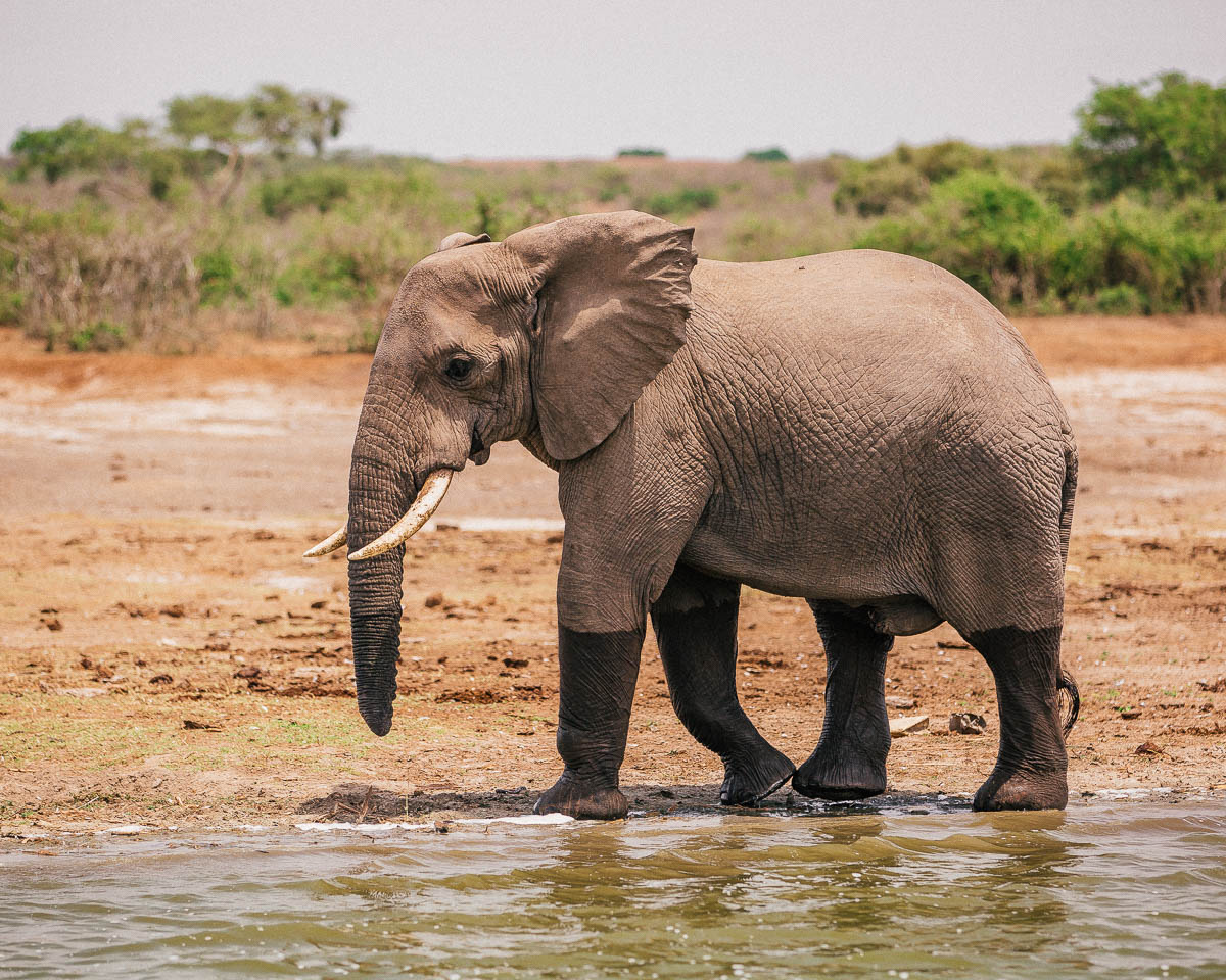 elephant queen elizabeth national park uganda itinerary