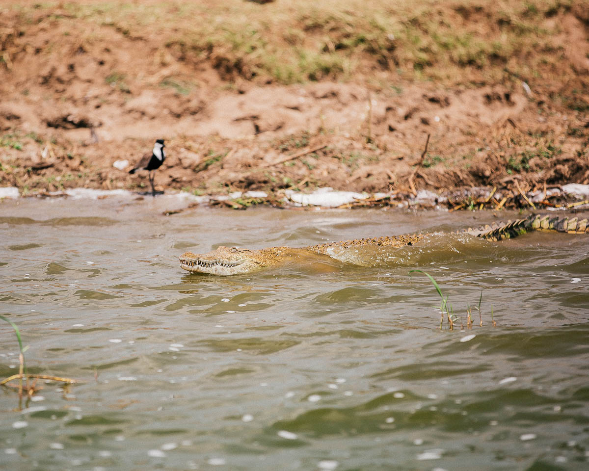nile crocodile in the water at queen elizabeth national park uganda itinerary