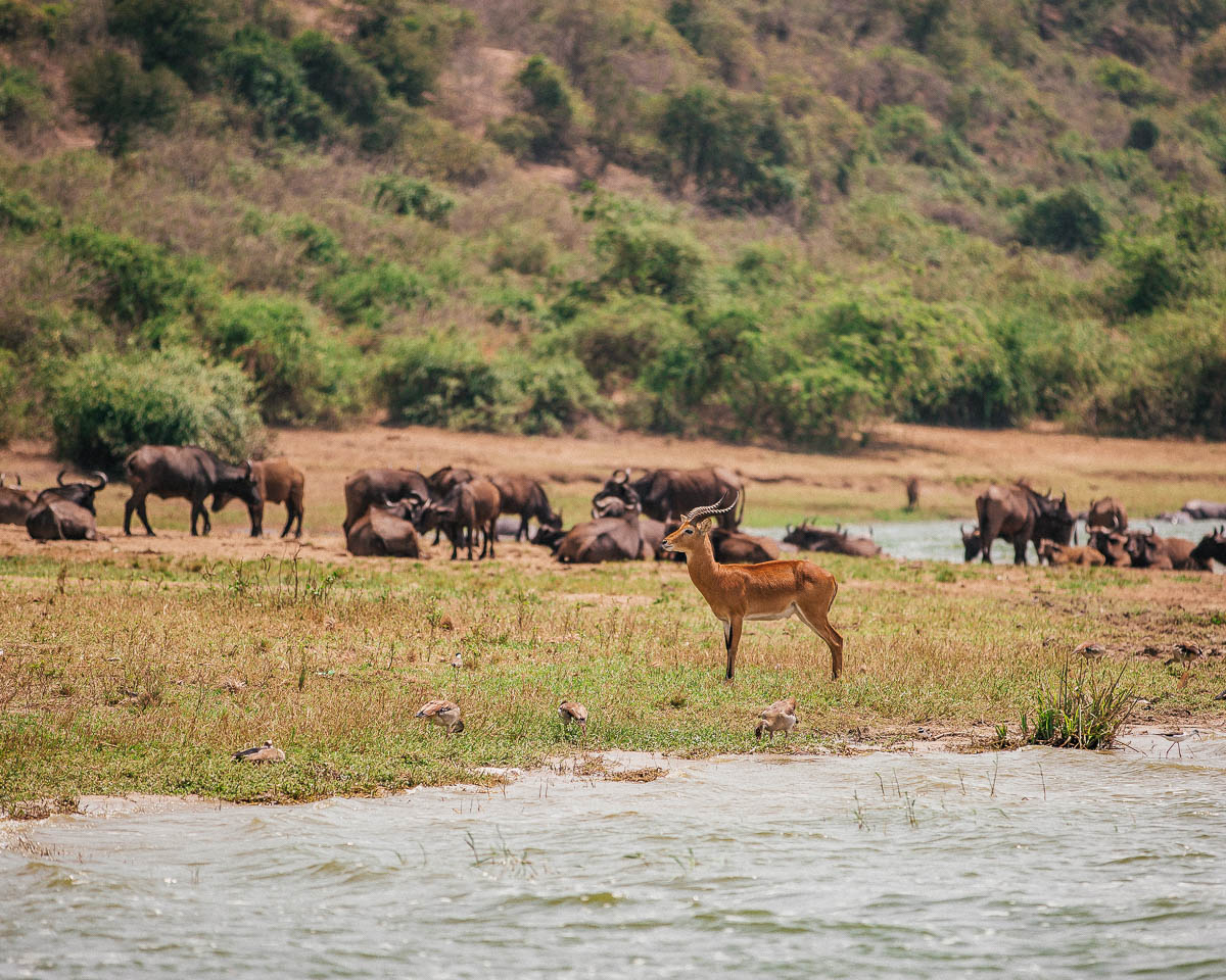 animals on the shore queen elizabeth national park uganda itinerary
