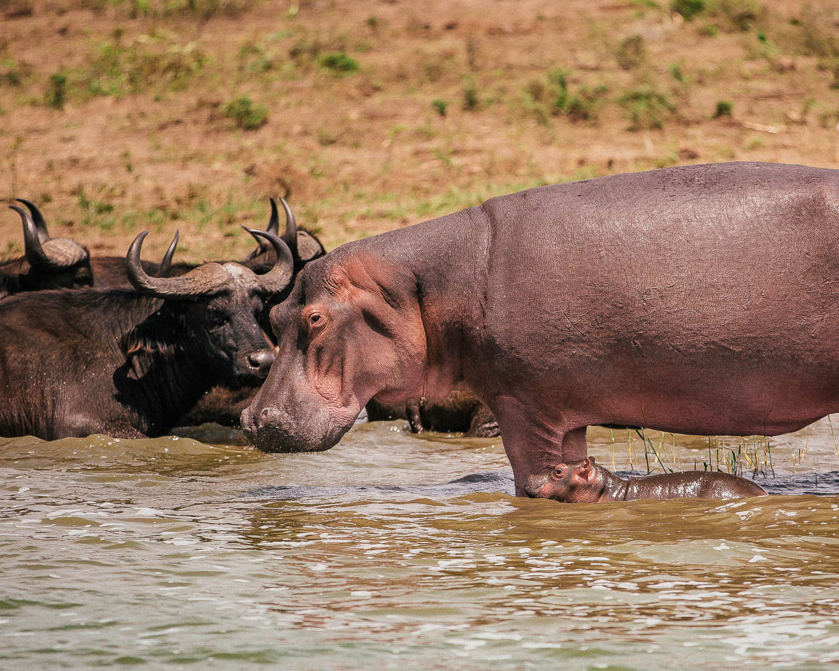 mother and baby hippo queen elizabeth national park uganda itinerary