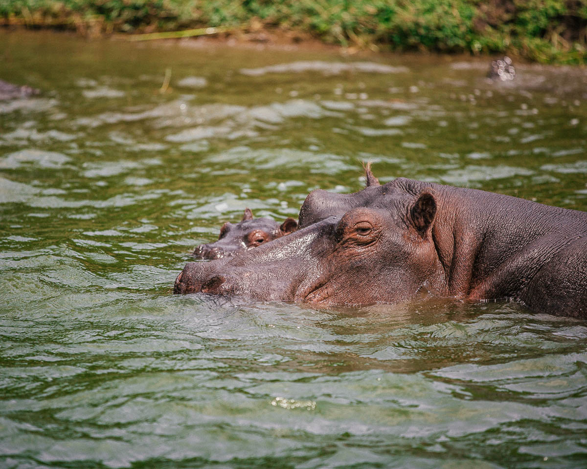 hippos queen elizabeth national park uganda itinerary