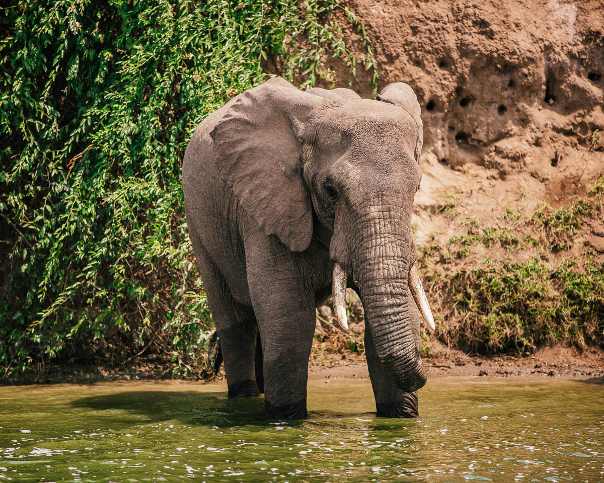 elephant in the water queen elizabeth national park uganda itinerary