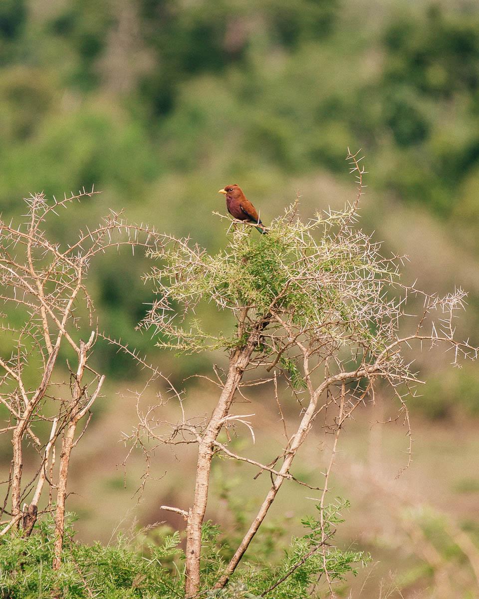 brown bird queen elizabeth national park uganda itinerary
