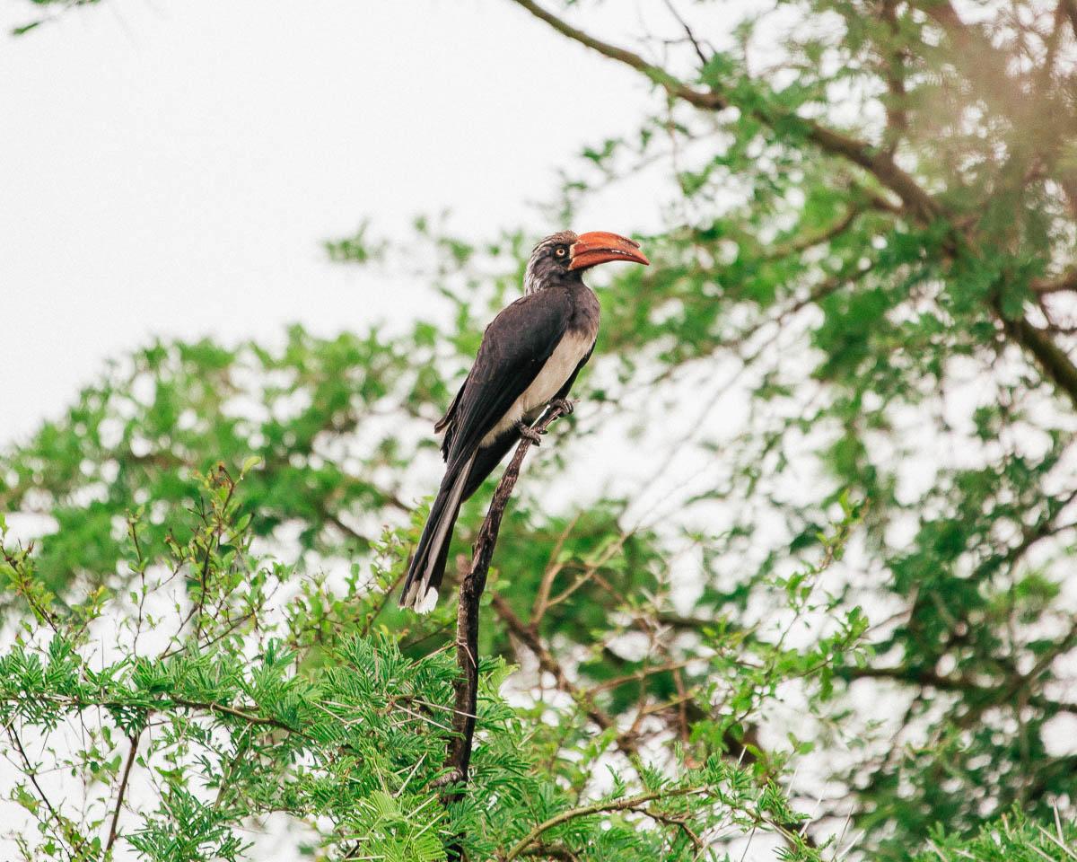 horn bill queen elizabeth national park uganda itinerary