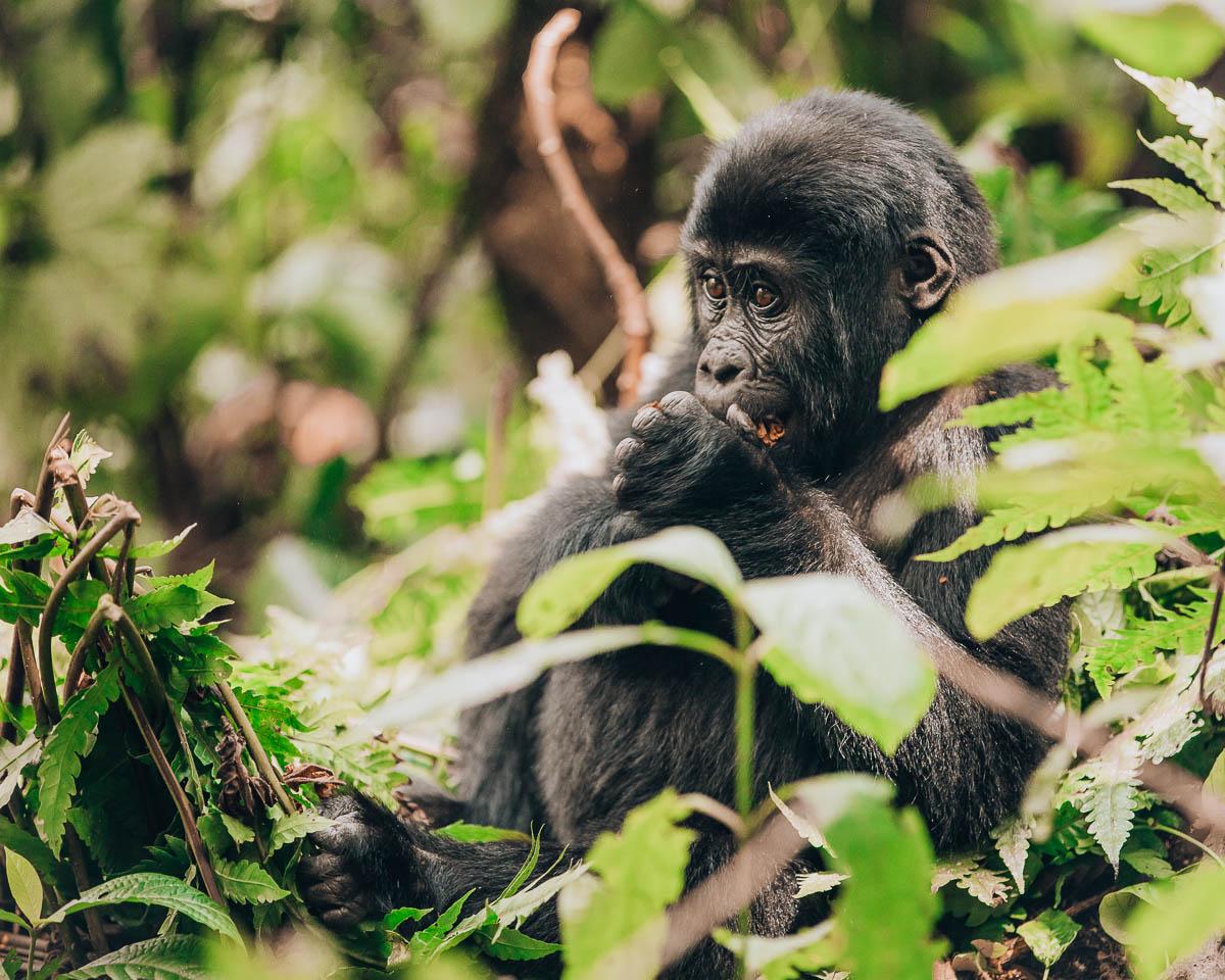 baby gorilla bwindi impenetrable forest uganda itinerary