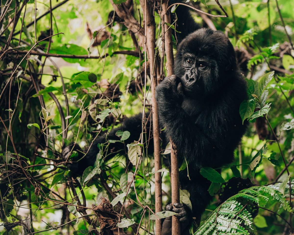 climbing baby gorilla bwindi impenetrable forest uganda itinerary