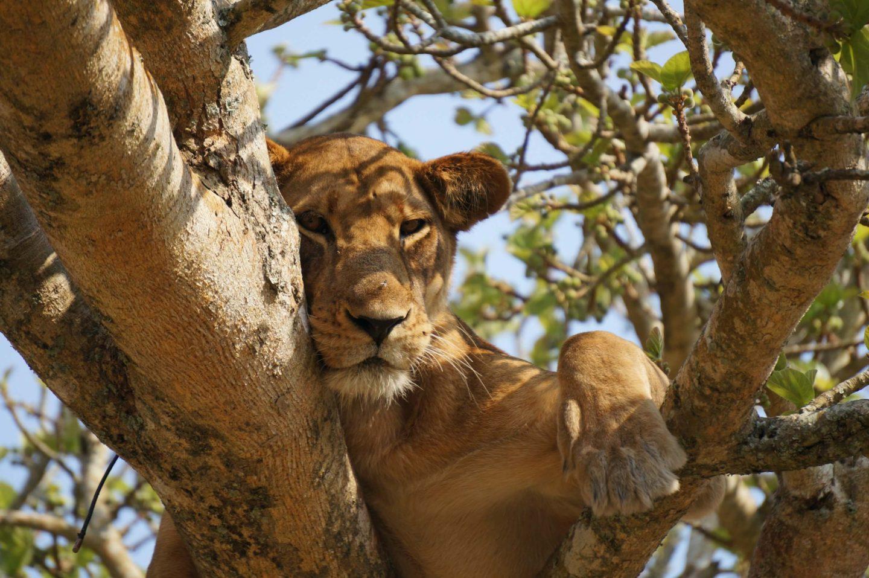 tree climbing lion in queen elizabeth national park uganda itinerary