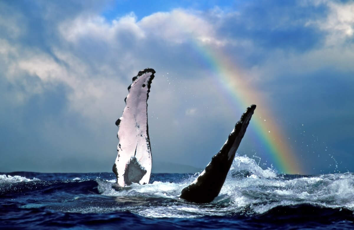 whale breaching in whale watching with rainbow above hawaii